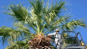 Aliağa'daki Palmiyeler Budanıyor
